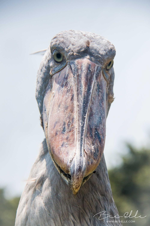 Shoebill Stork - African Wildlife