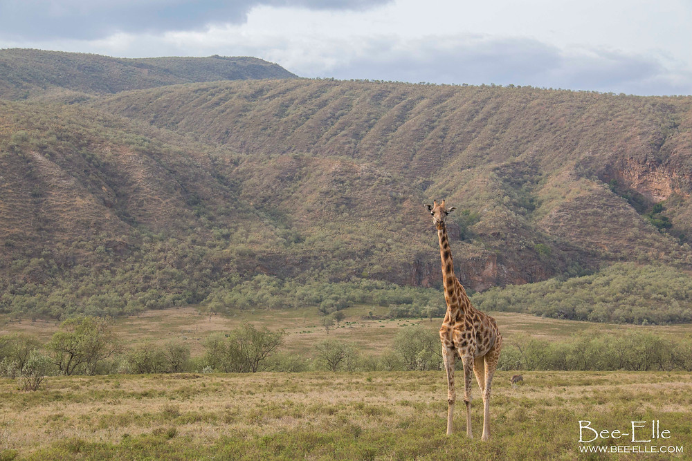 Giraffe at Hell's Gate National Park, Kenya