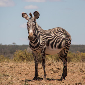 The exotic zebra- and endangered