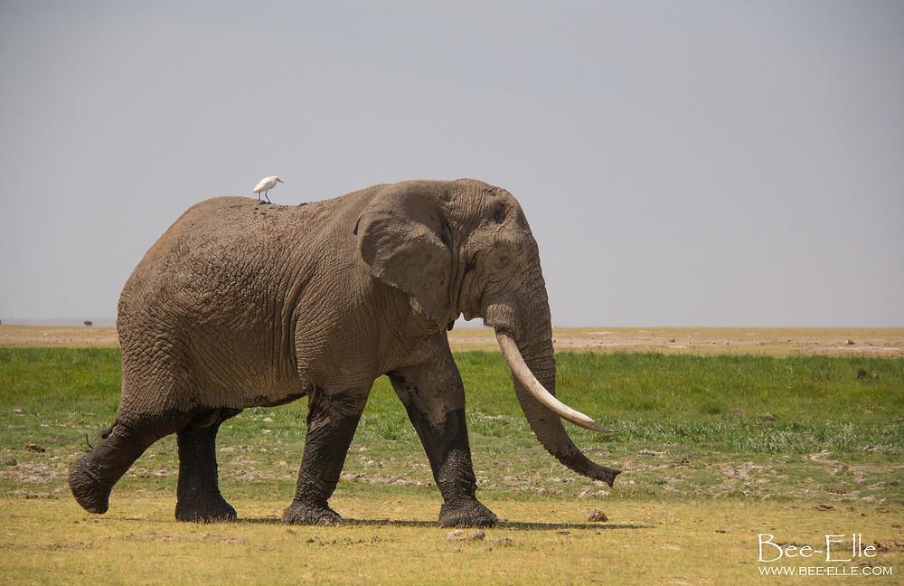 Bee-Elle - African Wildlife Photography - elephant