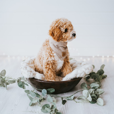 Puppy Photography - Pet Portraits - Poppy Carter Portraits - Buckinghamshire Family Photography