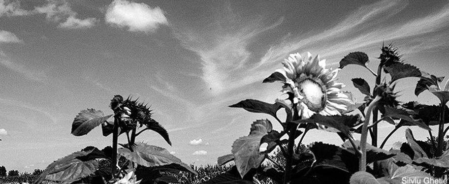 Silviu_Ghetie_-_Floarea_Soarelui_signatu