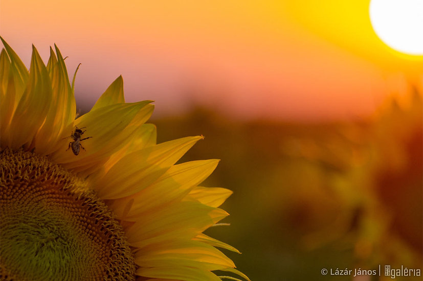 Aranymetszés a naplementében | Lázár János
