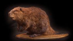 DCNR Beaver
