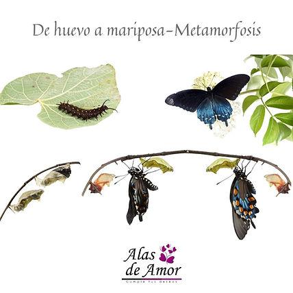 De huevo a mariposa Metamorfosis.jpg