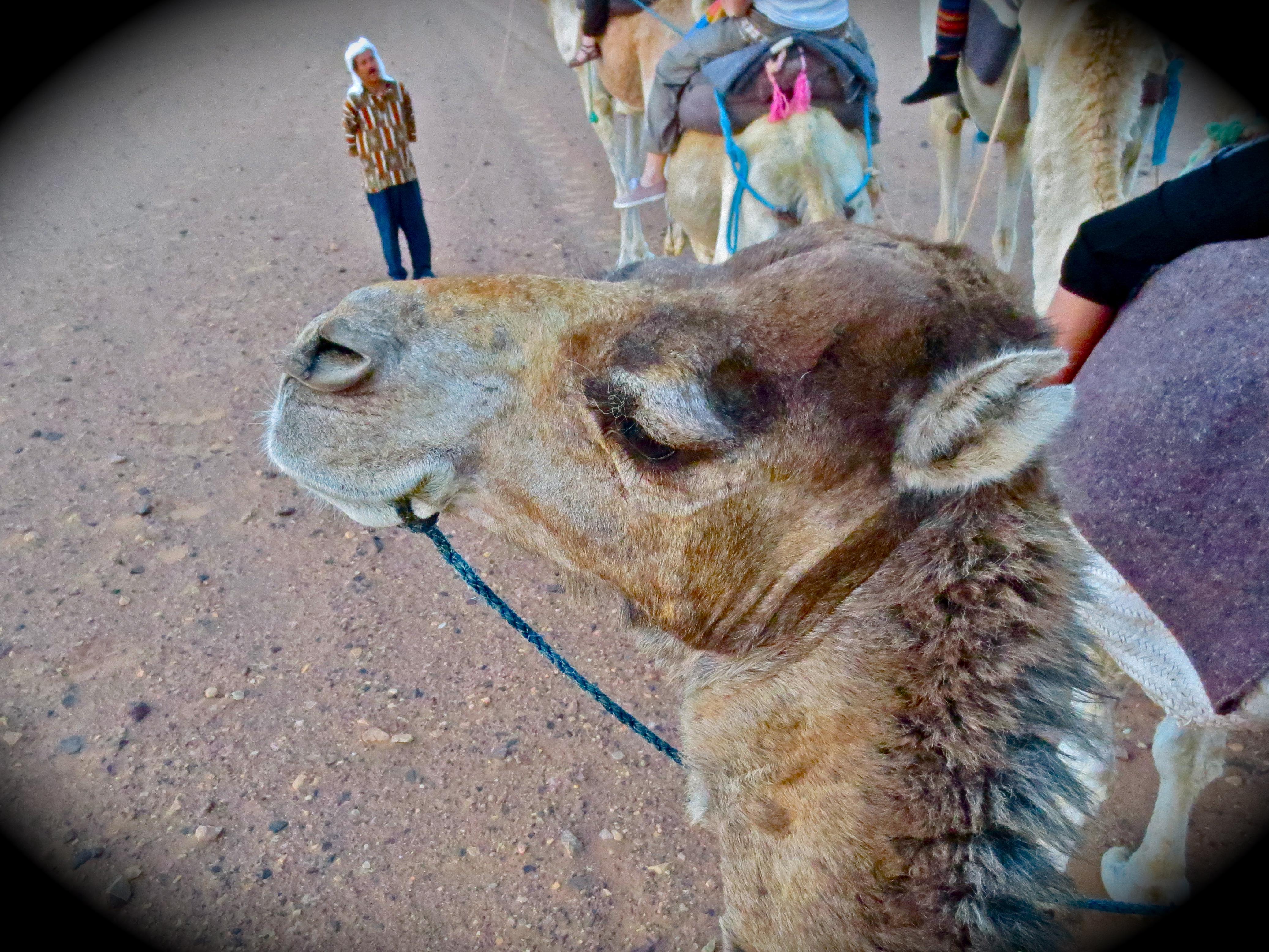 Chachi, the stubborn camel