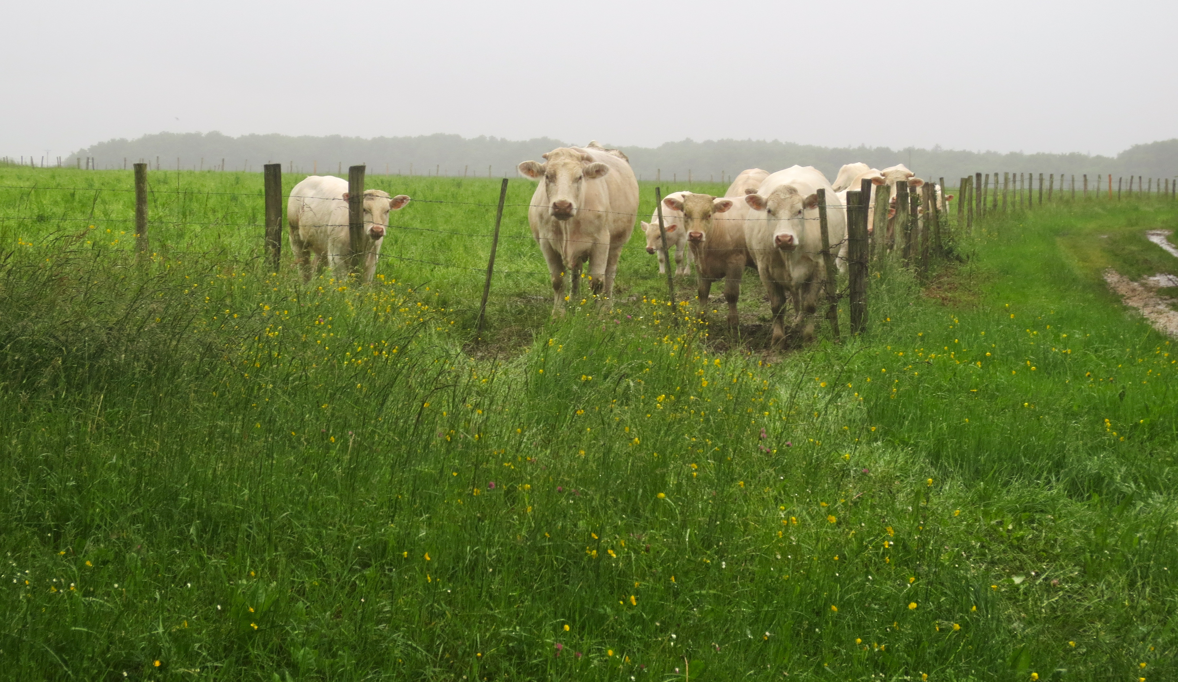 Bonjour vaches