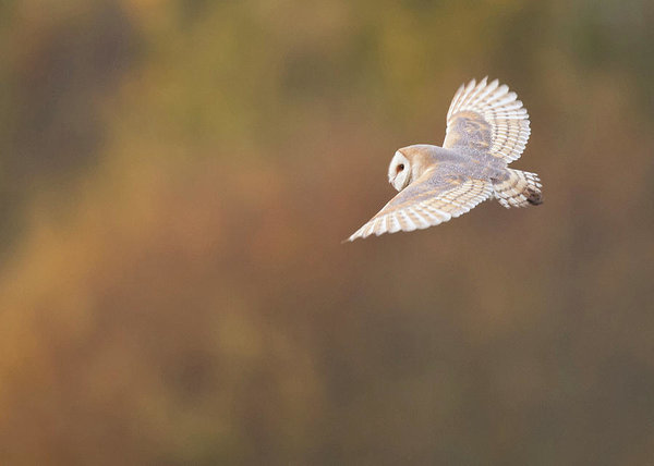 barn-owl-in-flight-tyto-alba-jonathan-le