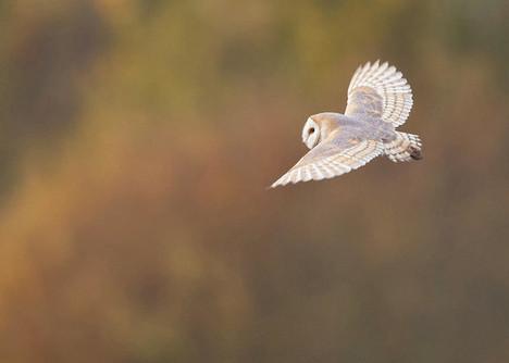 barn-owl-in-flight-tyto-alba-jonathan-le