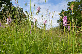 spotted orchids 3.jpg