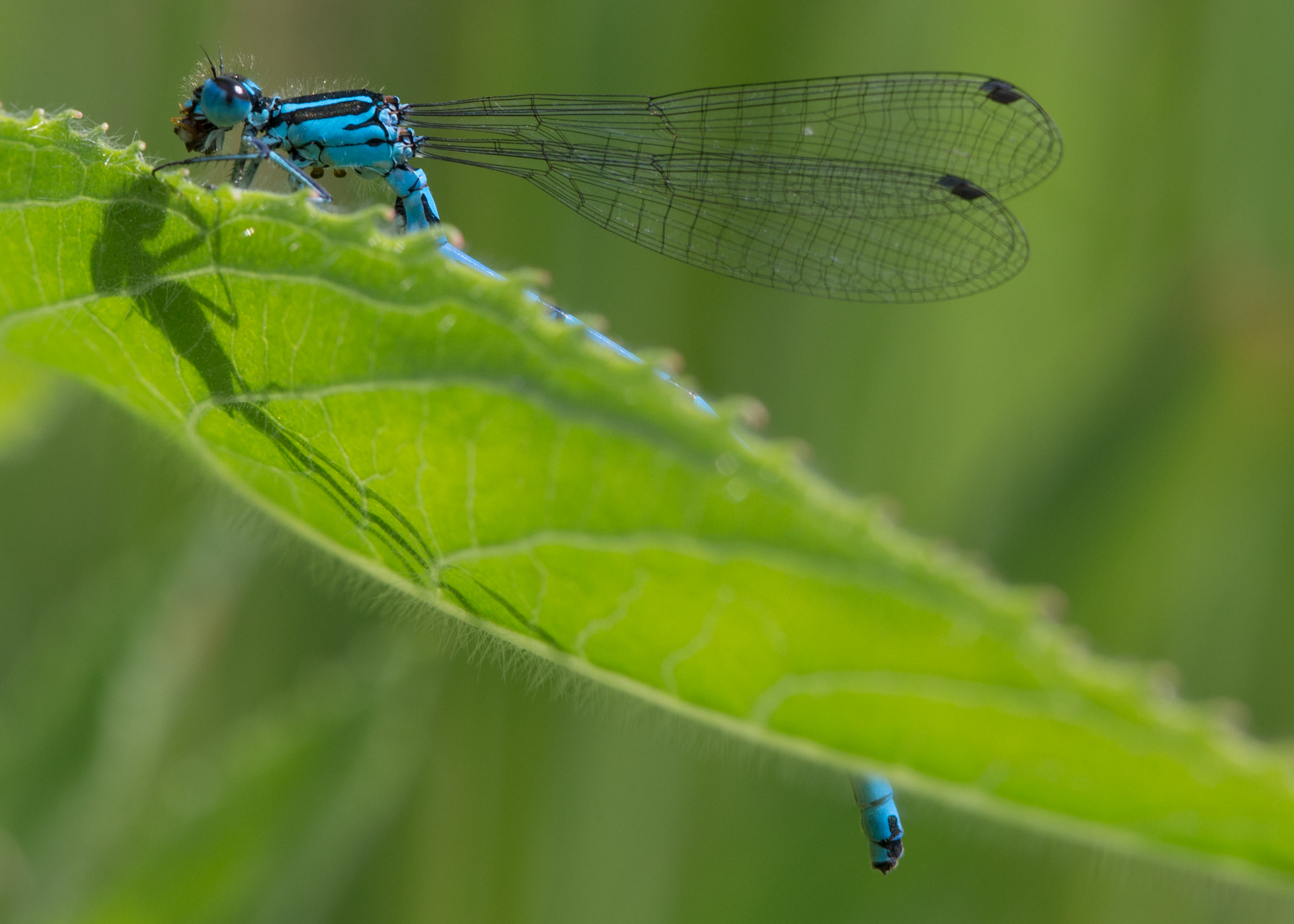 azure damselfly eating