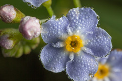 water forget-me-not flower