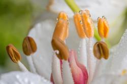 flowering rush close up