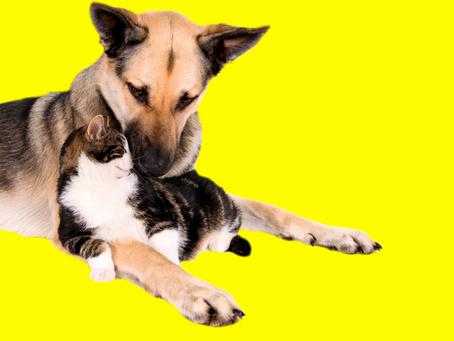 Julho Amarelo – Hepatite é uma doença silenciosa que afeta a saúde de cães e gatos