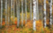 LT aspens fall foilage.jpg