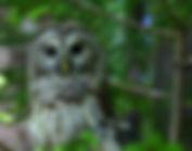 Barred_owl_wildlife_42_-_West_Virginia_-