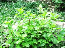 पुदीने के समान ही होता है बेटनी पौधा, इन बीमारियों के लिए है रामबाण दवा