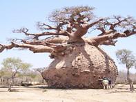 Baobab Tree: दैत्याकार पेड़, जिसमें घर बनाकर रहते हैं आदिवासी, भारत में ऐसा है इतिहास