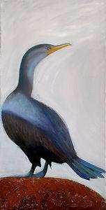 Icelandic Cormorant