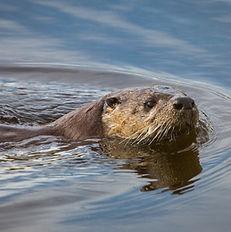 river-otter-1062574_1920.jpg