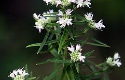 Pycnanthemum-virginianum_edited.jpg