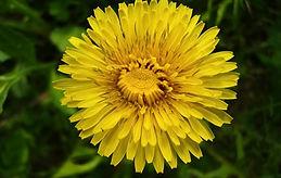 a-dandelion-flower-4.jpg