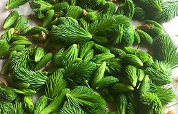 Spruce-Needles.jpg