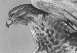 Detail of White Tailed Hawk