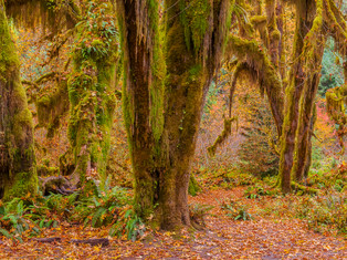 Hall of Mosses, Hoh Rain Forest, Olympia National Park, Washington