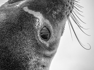 Closeup of a Crabeater Seal, Neko Harbor, Antartica