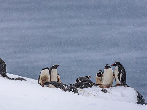 Penguin Colony, D'Hainaut Island, South Shetland Islands, Antarctica