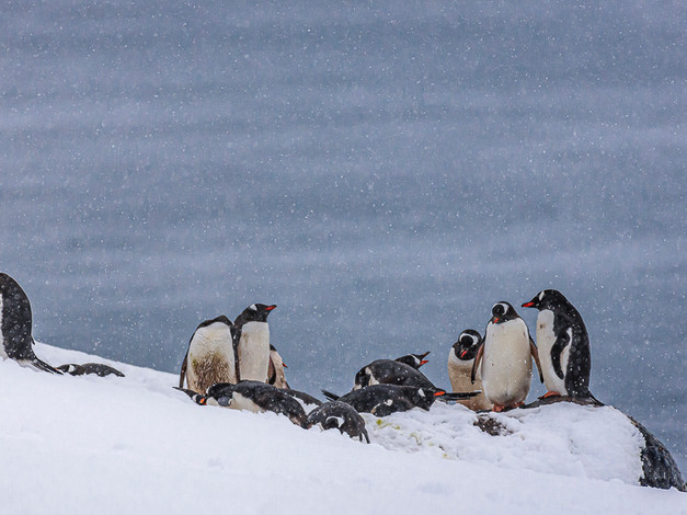 Penguin Colony, D'Hainaut Island, South Shetland Islands, Antarctica