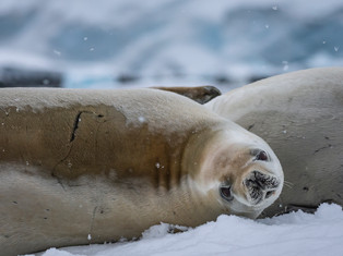 Crabeater Seal, Neumayer Channel, Antarctica