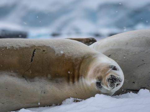 Crabeater Seal, Neumayer Channel, Antarctica
