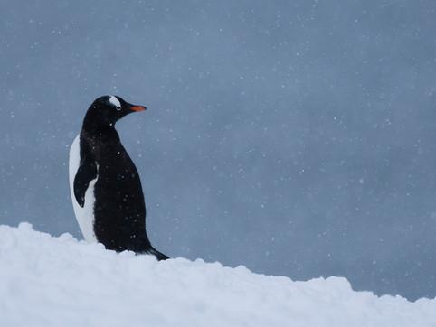 Gentoo Penguin, D'Hainaut Island, Antarctica