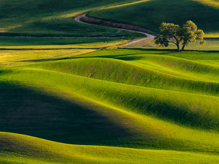 Cottonwoods and Road, Palouse, Washington