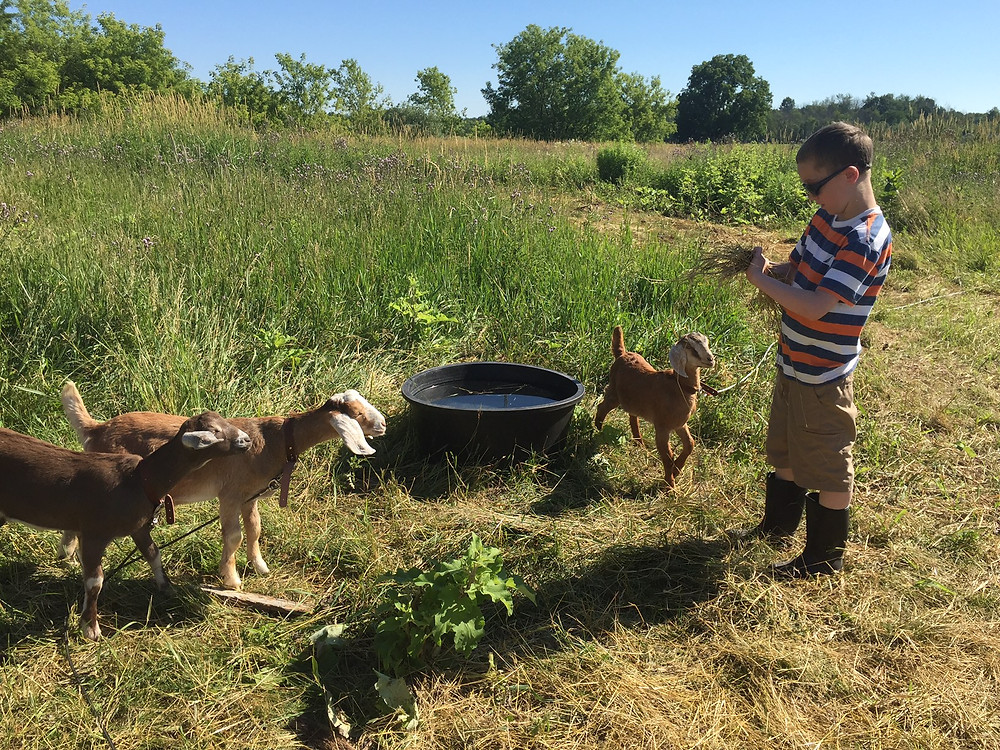 Boy and three goats in field.