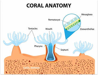 Coral1.png