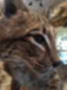 Bobcat 2.JPG