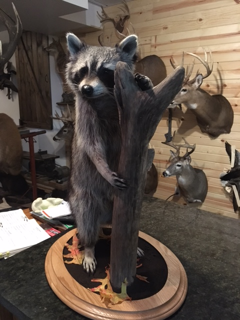Raccoon Lifesize Taxidermy