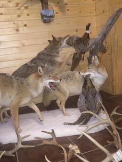 Coyote snow scene