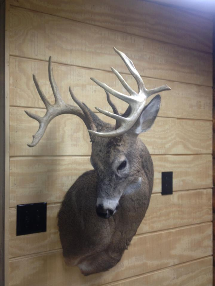 whitetail buck mount hard turn