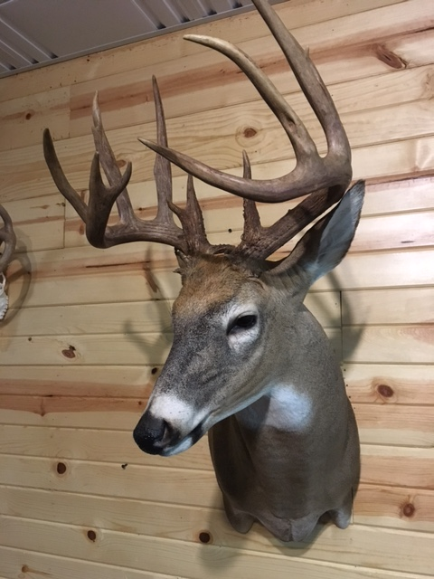 Whitetail deer mount early archery