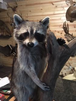 Raccoon Mount