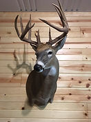 Whitetail Deer Mount Early Season.JPG
