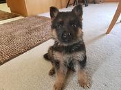 Tessa Zeus Brown Collar boy, 8 weeks old