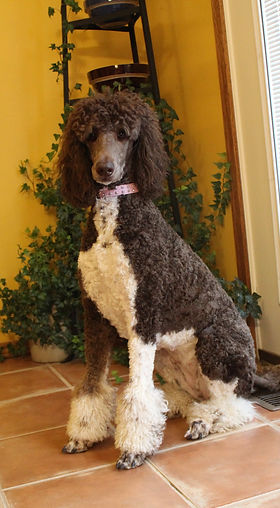 Standard Poodle Puppies for Sale Come See our New Puppies