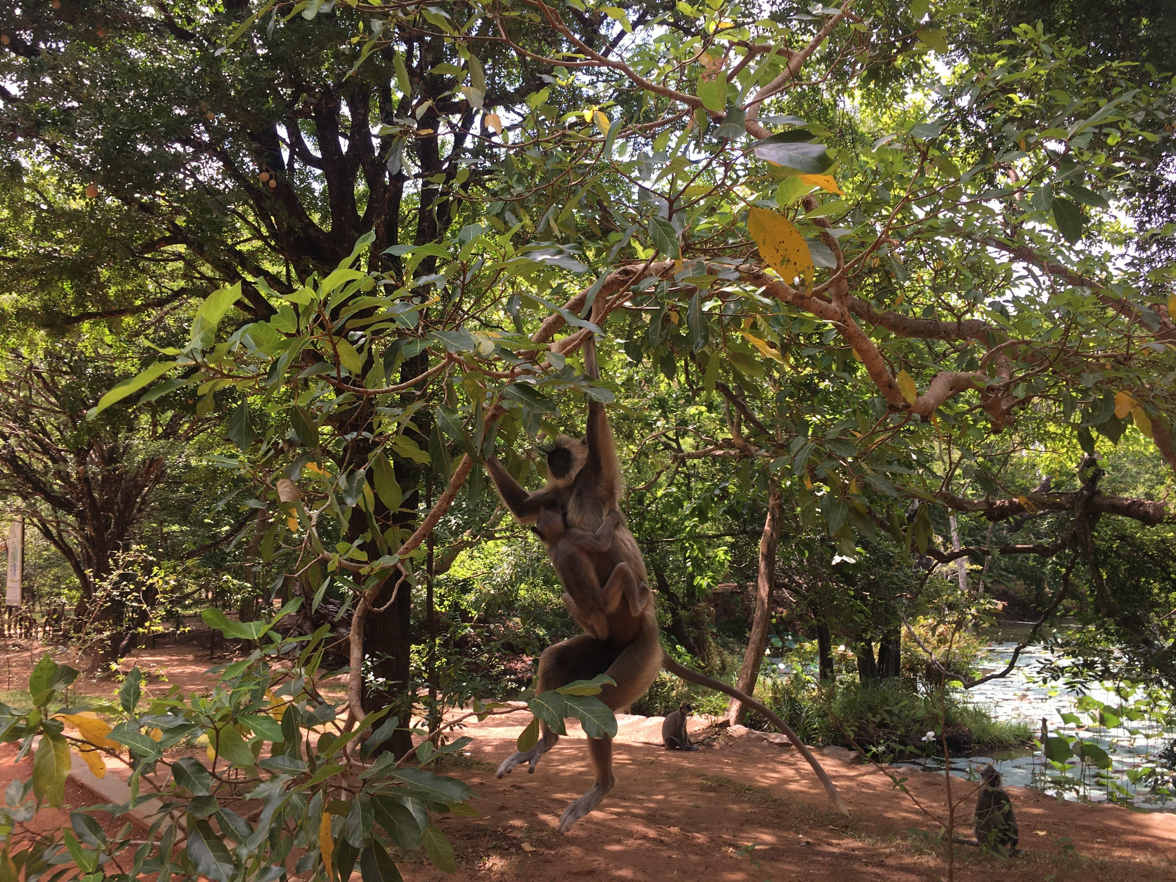 Monkeys of Sigariya