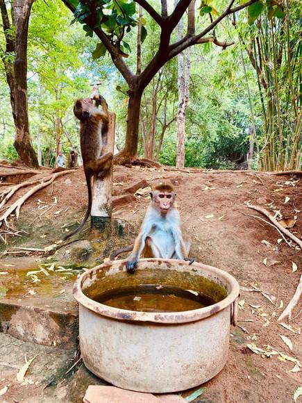 Sri lankan monkeys