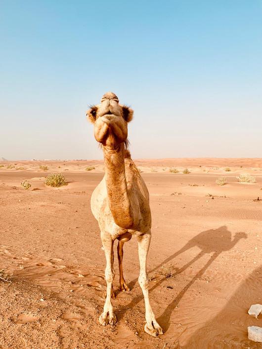 Camel in the Golf desert - United Arabs Unis